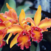 Cattleya Orchids Art Print by Allan Seiden - Printscapes
