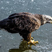 Cautious Eagle Art Print