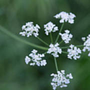 Cedar Park Texas Hedge Parsley Art Print