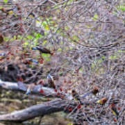Cedar Waxwings Feeding 2 Art Print