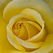 Centered Beautiful Yellow Rose Art Print