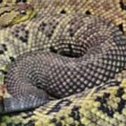 Central American Rattlesnakee Art Print