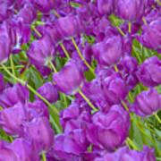 Central Park Spring-purple Tulips Art Print