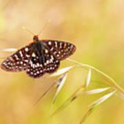 Chalcedon Butterfly Art Print