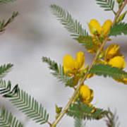 Chamaecrista Fasciculata Sleeping Plant Partridge Pea Art Print