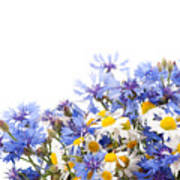 Chamomile And Cornflower Mix Art Print