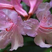 Chapmans Rhododendron Art Print