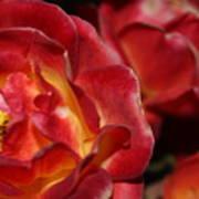 Charisma Roses 2 Art Print