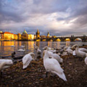 Charles Bridge, Prague With Swans Art Print