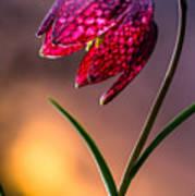Checkered Lily Art Print