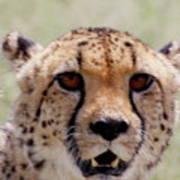 Cheetah No.1 Art Print