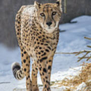 Cheeta Art Print