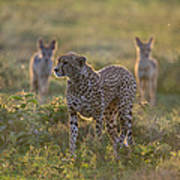Cheetah Acinonyx Jubatus And Jackals Art Print