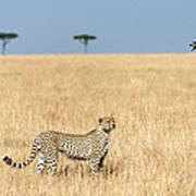 Cheetah Acinonyx Jubatus In Plains Art Print
