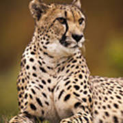 Cheetah Beauty Art Print