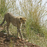 Cheetah Exploration Art Print