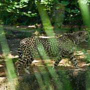 Cheetah On The In The Forest Art Print by Douglas Barnett