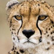 Cheetah Portait Art Print
