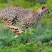 Cheetahs Acinonyx Jubatus Hunting Art Print
