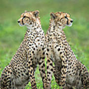 Cheetahs Acinonyx Jubatus In Forest Art Print