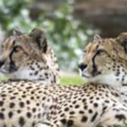 Two Cheetahs Art Print