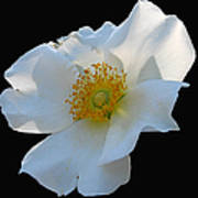 Cherokee Rose On Black Art Print