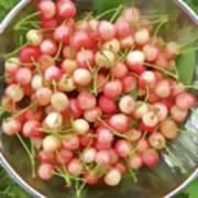 Cherries 8 Art Print