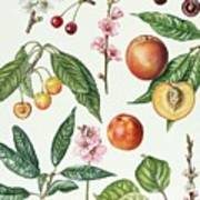 Cherries And Other Fruit-bearing Trees  Art Print