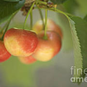 Cherries Hanging On A Branch Art Print