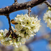 Pear Blossom And Bee Art Print