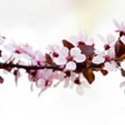 Cherry Blossom Branch Art Print