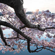 Cherry Blossom Breeze Art Print