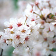 Cherry Blossom Close-up No. 6 Art Print