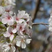 Cherry Blossom Cluster Art Print