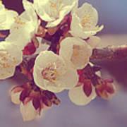 Apricot Blossom II Art Print