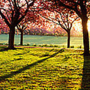 Cherry Blossom In A Park At Dawn Art Print