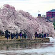 Cherry Blossom In Washington D C Art Print