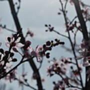 Cherry Blossom Transparency Art Print