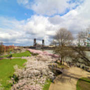 Cherry Blossom Trees At Portland Waterfront Art Print