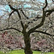 Cherry Blossom Trees Of Branch Brook Park 31 Art Print