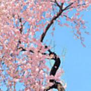 Cherry Blossom Trilogy IIi Art Print