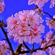 Cherry Blossoms 004 Art Print