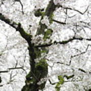 Cherry Blossoms 119 Art Print