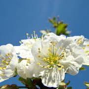 Cherry Blossoms Art White Spring Tree Blossom Baslee Troutman Art Print
