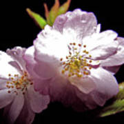 Cherry Blossoms Art Print by Debra     Vatalaro