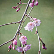 Cherry Blossoms In Early Spring Art Print