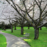 Cherry Blossoms In Stanley Park Vancouver Art Print