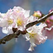 Cherry Blossoms On Blue Art Print