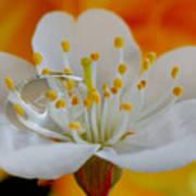 Cherry Flower In The Spring Art Print