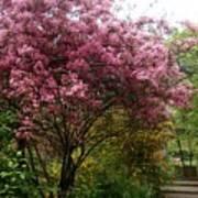 Cherry Spring Blossom Art Print by Valia Bradshaw